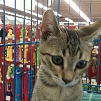 Adopt A Pet :: Mittens - Vacaville, CA