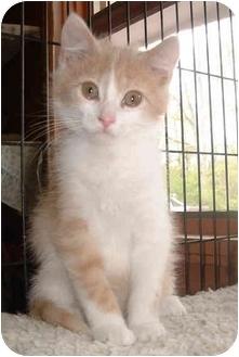 Domestic Shorthair Kitten for adoption in Honesdale, Pennsylvania - Handsome