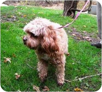 King Charles Spaniel/Poodle (Miniature) Mix Dog for adoption in PRINCETON, New Jersey - Tilly