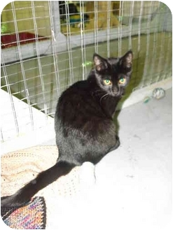 Domestic Shorthair Kitten for adoption in Mission, British Columbia - Hercules