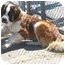 Photo 3 - St. Bernard Dog for adoption in Fulton, Missouri - Beethoven