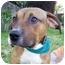 Photo 3 - Shepherd (Unknown Type)/Rhodesian Ridgeback Mix Puppy for adoption in Berkeley, California - Boots