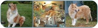 Collie Dog for adoption in Trabuco Canyon, California - Dancer