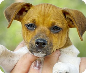 Fox Terrier (Smooth)/Jack Russell Terrier Mix Puppy for adoption in Bulverde, Texas - Don-1