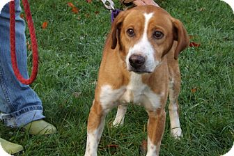 Beagle/Pit Bull Terrier Mix Dog for adoption in Somerset, Pennsylvania - Chunks