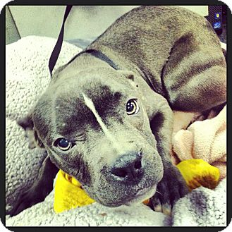 American Pit Bull Terrier Dog for adoption in Astoria, New York - Livi