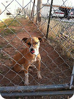 Basenji Mix Dog for adoption in Sierra Vista, Arizona - Mala
