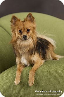 Chihuahua Mix Dog for adoption in Anchorage, Alaska - Siskel