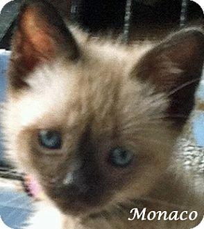 Siamese Kitten for adoption in Mandeville Canyon, California - Monaco