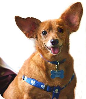 Dachshund/Terrier (Unknown Type, Small) Mix Dog for adoption in High Point, North Carolina - Amos