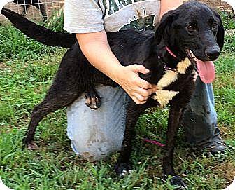 Labrador Retriever Mix Dog for adoption in Midlothian, Virginia - Casey