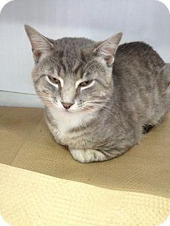 Domestic Shorthair Cat for adoption in Long Beach, New York - Texas