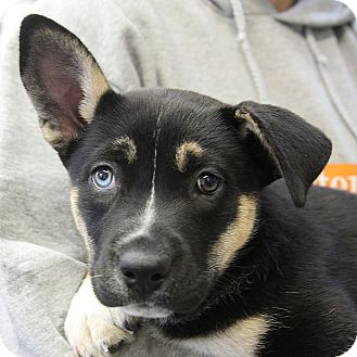 Husky/Shepherd (Unknown Type) Mix Puppy for adoption in Sacramento, California - Roxy Pup!