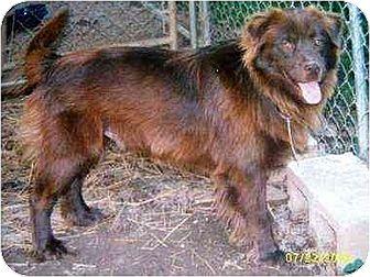 Labrador Retriever/Chow Chow Mix Dog for adoption in Portland, Maine - Yuma