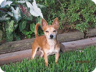 Chihuahua Mix Dog for adoption in Houston, Texas - Bud