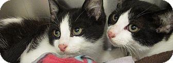 Domestic Shorthair Kitten for adoption in Somerville, Massachusetts - Ben (Petsmart Everett)
