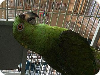 Amazon for adoption in Punta Gorda, Florida - Okee Dokee