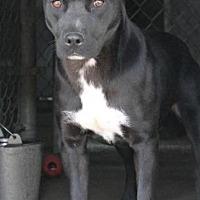 Labrador Retriever Dog for adoption in Memphis, Tennessee - Etta