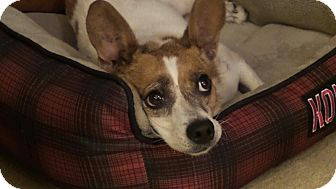 Jack Russell Terrier/Corgi Mix Dog for adoption in Kittery, Maine - Duffie