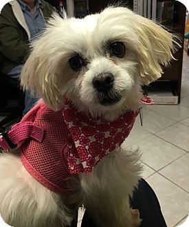 Maltese Mix Dog for adoption in Clarksville, Tennessee - Marilyn Monroe