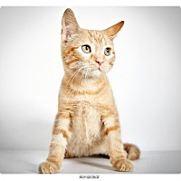 Adopt A Pet :: Boy George - New York, NY