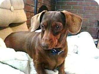 Dachshund Dog for adoption in Forest Ranch, California - Coco
