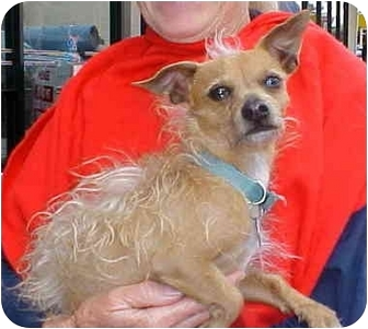 Chinese Crested/Terrier (Unknown Type, Small) Mix Dog for adoption in Spring Valley, California - Cody