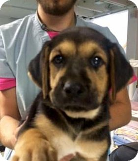 Shepherd (Unknown Type)/Foxhound Mix Puppy for adoption in Barnegat, New Jersey - Eaton