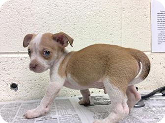 Chihuahua Mix Puppy for adoption in Janesville, Wisconsin - Pablo