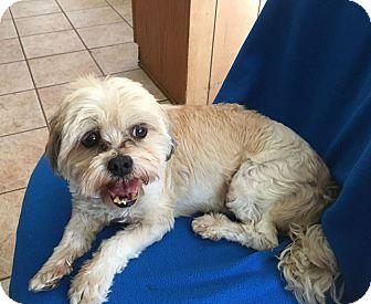 Shih Tzu Mix Dog for adoption in Mesa, Arizona - ETHAN 10 YR OLD SHIH TZU MIX