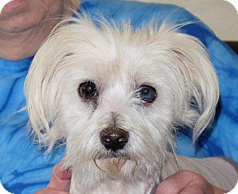 Maltese Mix Dog for adoption in Spokane, Washington - Popcorn