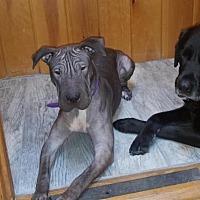 Shar Pei Mix Dog for adoption in Nanuet, New York - Vida