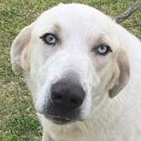 Adopt A Pet :: Kahlua - Tuttle, OK