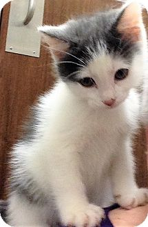 Domestic Shorthair Kitten for adoption in Shorewood, Illinois - Joey