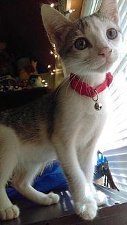 American Shorthair Kitten for adoption in Asheville, North Carolina - Egypt- McDowell