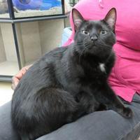 Adopt A Pet :: Pebbles - Ellicott City, MD