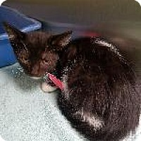 Domestic Shorthair Kitten for adoption in Queenstown, Maryland - Leia
