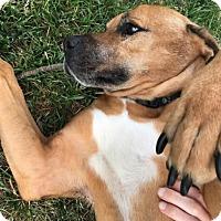 Hound (Unknown Type)/Boxer Mix Dog for adoption in Chico, California - Skipper