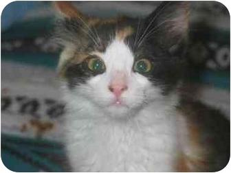 Domestic Shorthair Kitten for adoption in Davis, California - Spunky