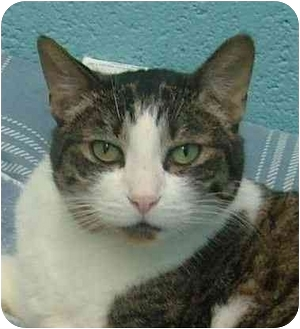 Domestic Shorthair Cat for adoption in Fulton, Missouri - Angel