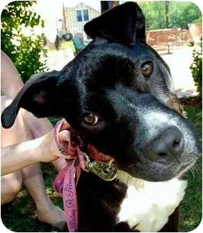 Labrador Retriever/American Staffordshire Terrier Mix Dog for adoption in Pawling, New York - HOPE