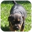 Photo 2 - American Pit Bull Terrier/Boxer Mix Puppy for adoption in Corona del Mar, California - Jade