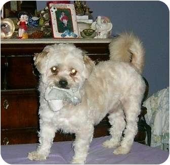 Maltese/Shih Tzu Mix Dog for adoption in Sacramento, California - ADOPT Pouncy