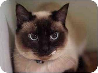 Siamese Cat for adoption in Portland, Oregon - Bonnie