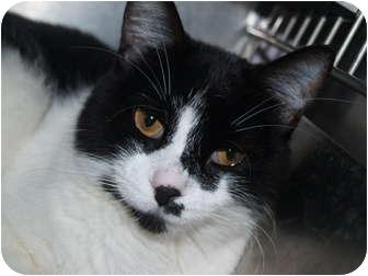 Domestic Shorthair Cat for adoption in El Cajon, California - Arnie