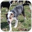 Photo 3 - Blue Heeler Mix Puppy for adoption in Allentown, Pennsylvania - Flora
