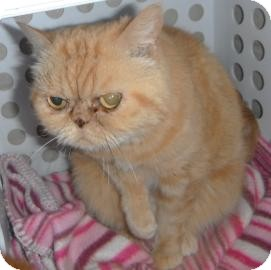 Exotic Cat for adoption in Jackson, Michigan - Tiffany