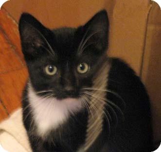 Domestic Shorthair Kitten for adoption in Merrifield, Virginia - Moonlight