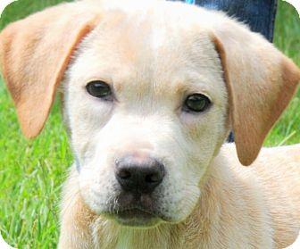 Labrador Retriever Mix Puppy for adoption in Wakefield, Rhode Island - BEN(THE HAPPIEST PUPPY EVER!)