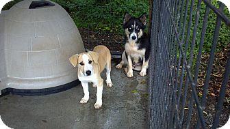Labrador Retriever/Husky Mix Puppy for adoption in Morgantown, West Virginia - Nemo